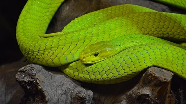 dream green snakes