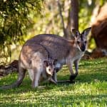 kangaroo dream meaning