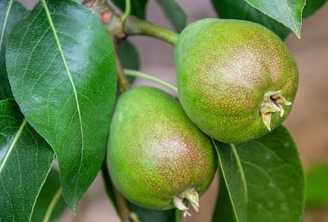 pear tree dream meaning